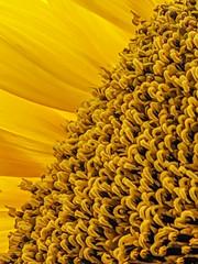 Sunflower 03 (jolynne_martinez) Tags: sunflower flower flowering petals yellow garden gardening macro googlepixel