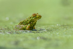 Frog Life (PhillymanPete) Tags: pond macro algae burlington nature newjersey amphibian frog green wildlife palmyracovenaturepark duckweed bullfrog nikon d500