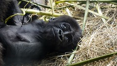 Disney 2019 (dstta919v) Tags: sony disney disneyworld disneyanimalkingdom a7iii baby gorilla