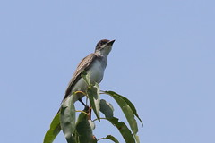 Eastern Kingbird (astro/nature guy) Tags: illinoisbird bird urbanabird meadowbrookparkbird meadowbrookpark kingbird easternkingbird