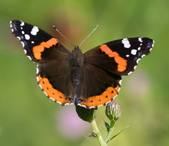 Red Admiral (vischerferry) Tags: redadmiral admiral butterfly brushfoot vanessaatalanta insect