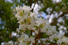 Summer Blossoms.