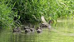 la confiance... (jlvaizand) Tags: nature canard rivière fildeleau