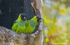 Peering out of their cavity (Photosuze) Tags: pair parakeets nandayparakeets two birds avians aves animals nature wildlife cavity couple cute