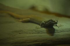 Adorable lizard (njumer) Tags: nature michigan animal animals vertebrate vertebrates lizard lizards reptile reptiles reptilian