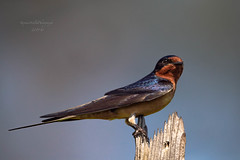 Barn Swallow. (stephenwalshphoto) Tags: