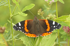 Vulcain / Red Admiral (alainmaire71) Tags: insecte insect lepidoptera lépidoptère papillon butterfly nymphalidae vanessaatalanta vulcain redadmiral nature quebec canada