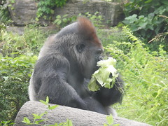 DSCN2107 (Tom Bauer) Tags: gorilla