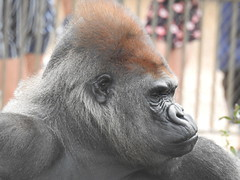 DSCN2095 (Tom Bauer) Tags: gorilla