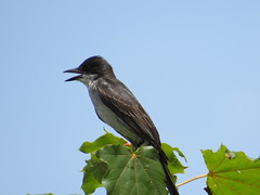 Eastern Kingbird (Sunsades) Tags: easternkingbird sx50 canon ellicottcity maryland howardcounty