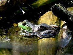 Sunday's frog (EcoSnake) Tags: americanbullfrog lithobatescatesbeiana frogs amphibians summer august water wildlife idahofishandgame naturecenter