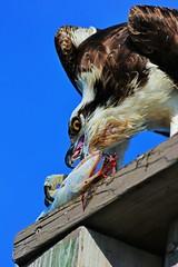 He Gets What He Wants (Michiale Schneider) Tags: osprey raptor bird nature sky dingdarlingwildliferefuge sanibelisland florida michialeschneiderphotography