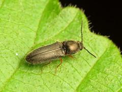 False Clicker (treegrow) Tags: rockcreekpark washingtondc nature lifeonearth arthropoda insect raynoxdcr250 coleoptera beetle eucnemidae