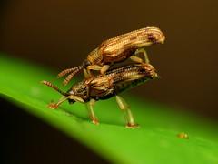 Hispine Mating Pair (treegrow) Tags: rockcreekpark washingtondc nature lifeonearth arthropoda insect raynoxdcr250 coleoptera beetle sumitrosisrosea chrysomelidae
