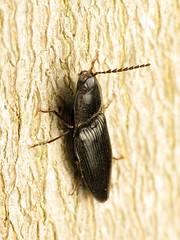 Click Beetle (treegrow) Tags: rockcreekpark washingtondc nature lifeonearth arthropoda insect raynoxdcr250 coleoptera beetle elateridae neopristilophusaethiops