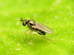 Dolichopodid Fly (treegrow) Tags: rockcreekpark washingtondc nature lifeonearth arthropoda insect raynoxdcr250 diptera dolichopodidae