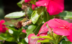 Hummingbird Moth (NeilCastle) Tags: garden wildlife backyard hummingbirdmoth bugs bug insect northcarolina cary moth