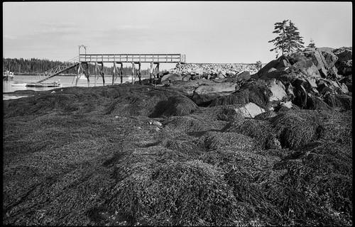 low tide, seaweed, dock, harbor, Owl's Head, Maine, Mamiya