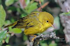 Yellow Warbler_IMG_2169 (bud_marschner) Tags: yellowwarbler creamersfield fairbanksalaska