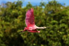 The Strategist (Michiale Schneider) Tags: roseatespoonbill pink bird sky nature flight dingdarlingwildliferefuge sanibelisland florida michialeschneiderphotography