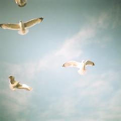 Seagulls 1 (GlobalGoebel) Tags: dianamini diana lomography lomo seagulls birds gulls squareformat square 35mm 35mmfilm luckycatch portland maine me vacationland lobsterboattour ishootfilm filmisnotdead expiredfilm expired film kodakgold200 kodakgold gold200 200 sky up lookingup