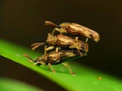 Hispine Threesome (treegrow) Tags: rockcreekpark washingtondc nature lifeonearth arthropoda insect raynoxdcr250 coleoptera beetle sumitrosisrosea chrysomelidae