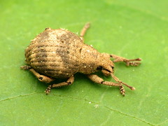Two-banded Japanese Weevil (treegrow) Tags: rockcreekpark washingtondc nature lifeonearth arthropoda insect raynoxdcr250 coleoptera beetle pseudocneorhinusbifasciatus curculionidae