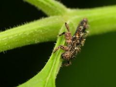 Lady Bug larva covered in mites (treegrow) Tags: rockcreekpark washingtondc nature lifeonearth arthropoda insect raynoxdcr250 coleoptera beetle harmoniaaxyridis coccinellidae
