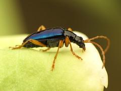 Blue Flower Longhorn (treegrow) Tags: rockcreekpark washingtondc nature lifeonearth arthropoda insect raynoxdcr250 coleoptera beetle cerambycidae gaurotescyanipennis