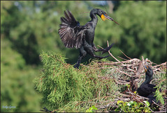 late to the party. (evelyng23) Tags: delraybeach florida usa phalacrocoraxauritus doublecrestedcormorant cormorant nature wildlife birding avian nesting nestingmaterials lateinseason nest wako pentax pentaxk3 aficionados sigma300mmf28 420mm 14xtc evelyng23 wetlands