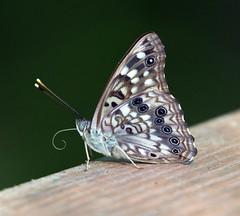 Hackberry emperor butterfly (carpingdiem) Tags: hackberryemperorbutterfly butterfly insect summer indianapolis birds 2019