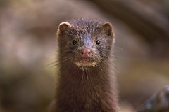 mink portrait ( explore ) (G_Anderson) Tags: mink weasel missouri ozarks current river montauk wildlife