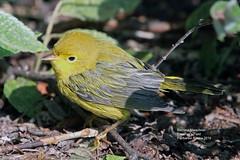 Yellow Warbler_IMG_2137 (bud_marschner) Tags: yellowwarbler creamersfield fairbanksalaska