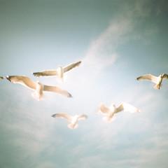 Seagulls 2 (GlobalGoebel) Tags: dianamini diana lomography lomo seagulls birds gulls squareformat square 35mm 35mmfilm luckycatch portland maine me vacationland lobsterboattour ishootfilm filmisnotdead expiredfilm expired film kodakgold200 kodakgold gold200 200 sky up lookingup