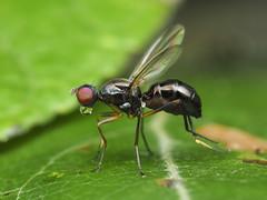 Black Scavenger Fly (Sepsidae) 119z-8083143 (Perk's images) Tags: blackscavengerfly sepsidae diptera sciomyzoidea higherbrachycera cyclorrhapha acalyptrate insect nearctic edmonton alberta canada animalplanet