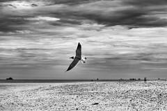 I want to fly / Quiero volar (Carlos Pizarro Photography) Tags: horizon gaviota cielo verano summer pajaro sea bird seagull sky mar horizonte bw clouds blackwhite