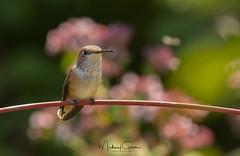 Hummingbird On Break (NikonDigifan) Tags: hummingbird birdwatching bird nature naturephotography naturesfinest wildlife wildlifephotography idaho pacificnorthwest nikon nikond850 nikon20050056 mikegassphotography