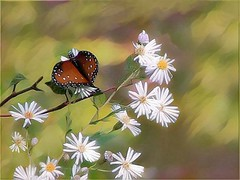 Siesta on Daisies (scilit) Tags: butterfly daisies flowers insect twigs painterly nature wildlife spotted photosandcalendar bug brownbutterfly whitedaisy summer netartii imagetrolled coth coth5 buttergarden thebestofmimamorsgroups theoriginalgoldseal