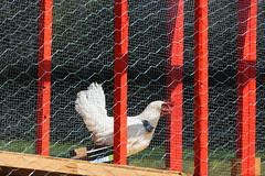 Chicken Race (Bracus Triticum) Tags: chicken race アルバータ州 alberta canada カナダ 8月 八月 葉月 hachigatsu hazuki leafmonth 2019 reiwa summer august