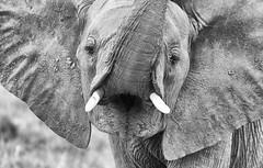 An Outcry For Future! (AnyMotion) Tags: worldelephantday 12august2019 mondayface africanelephant afrikanischerelefant loxodontaafricana elephants elefanten young jung portrait porträt 2018 anymotion tarangirenationalpark tanzania tansania africa afrika travel reisen animal animals tiere nature natur wildlife 7d2 canoneos7dmarkii bw blackandwhite sw portraitaufnahmen ngc npc