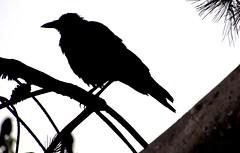 Crow (thomasgorman1) Tags: silhouette crow blackbird bird wildlife nature tree branch canon black ca cone needles