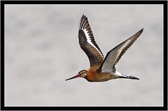 BLACK TAILED GODWIT (PHOTOGRAPHY STARTS WITH P.H.) Tags: black tailed godwit hole marsh devon nikon d500 200500mm afs vr