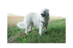 Kleine Schnuppertour (balu51) Tags: morgenspaziergang hund kuvasz ungarischerhirtenhund sommer felder wiesen juli 2019 copyrightbybalu51
