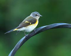 American Redstart Female (dshoning) Tags: bird warbler americanredstart female perched august iowa