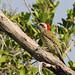 Cuban Green Woodpecker - Varaderos, CU