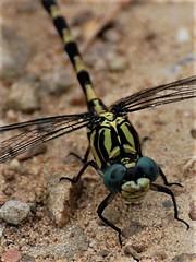 T'as de beaux yeux (danielled61) Tags: odonate libellule yeux chemin été août macro insecte ailes