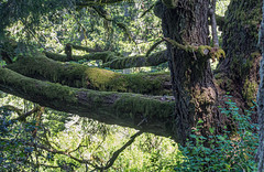 Moss on the branches (Teelicht) Tags: baum california hügel kalifornien nordamerika northamerica sanmateocounty usa unitedstatesofamerica vereinigtestaaten windyhill hill tree portolavalley