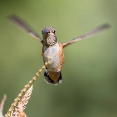 Landing gear deployed (mnag62) Tags: allenshummingbird hummingbird bif birdsinflight birds birding laarboretum crescentfarm nature bmnag arcadia losangeles pasadena
