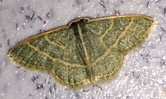Emerald, Chlorochlamys appellaria, Sabino Canyon Recreation Area, Tucson, AZ (Seth Ausubel) Tags: geometridae az moth geometrinae