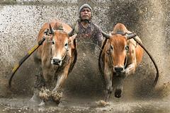 s 20190810_Pacu Jawi_DSC_7547 (Andrew JK Tan) Tags: pacujawi z6 nikonz6 bullracing nikkor500mmpf padang tanahdatar westsumatra